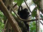 Howler monkeys - mother and child