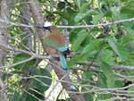 We took a boat ride up the river one morning to see what we could find... this is a Turquoise-browed Motmot, with characteristic long tail feathers. Its nest is the hole in the riverbank visible at bottom right.