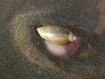 A two-inch long snail, quickly burrowing back down into the wet sand. We played with these guys for a long time.