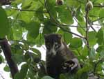 The same coati snacking in a cashew tree by the beach. You can see the capsules containing the cashews on the end of the yellow cashew apples.