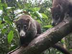 Two young (and curious) coatis descending a tree in the forest.