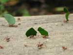 Leaf cutter ants, hard at work in the forest