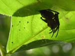 A spider hiding in a curled-up leaf