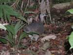 A bird foraging on the forest floor - about the size of a chicken