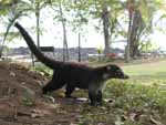 A large coati at the Corcovado ranger station. They're related to raccoons.