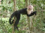 White-faced capuchin monkey relaxing for a moment