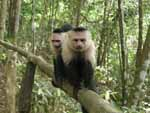 A pair of monkeys trying to scare us away from the rest of the troupe as we walk up the path.