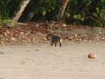 A troupe of capuchin monkeys playing and running along the beach
