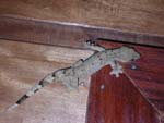 We shared our bungalow with a big gecko