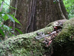 A rainforest hog-nose pit viper (Porthidium nasutum), nestled on a root of a gigantic tree [background] that was at least 30 feet in diameter, with a root system many times that.