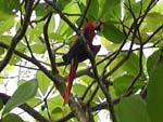 A scarlet macaw - they're numerous, beautiful, and very noisy